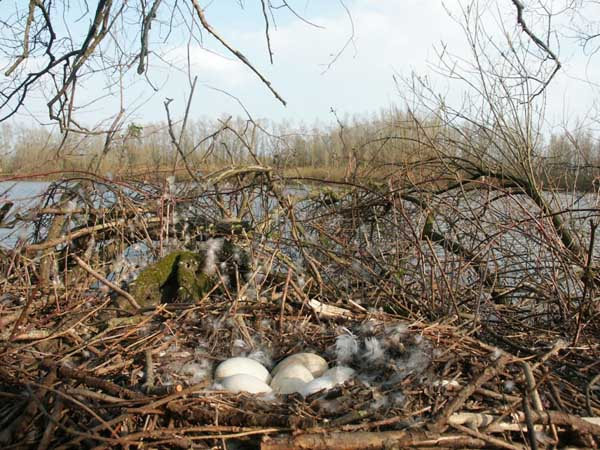 Nest Grauwe Gans - foto: Twan Teunissen