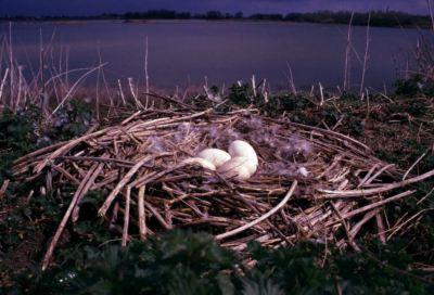 Grauwe Gans nest Bemmelse Waard - foto: Twan Teunissen