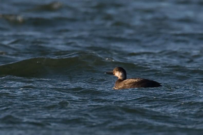Zwarte Zeeeend - foto: Harvey van Diek